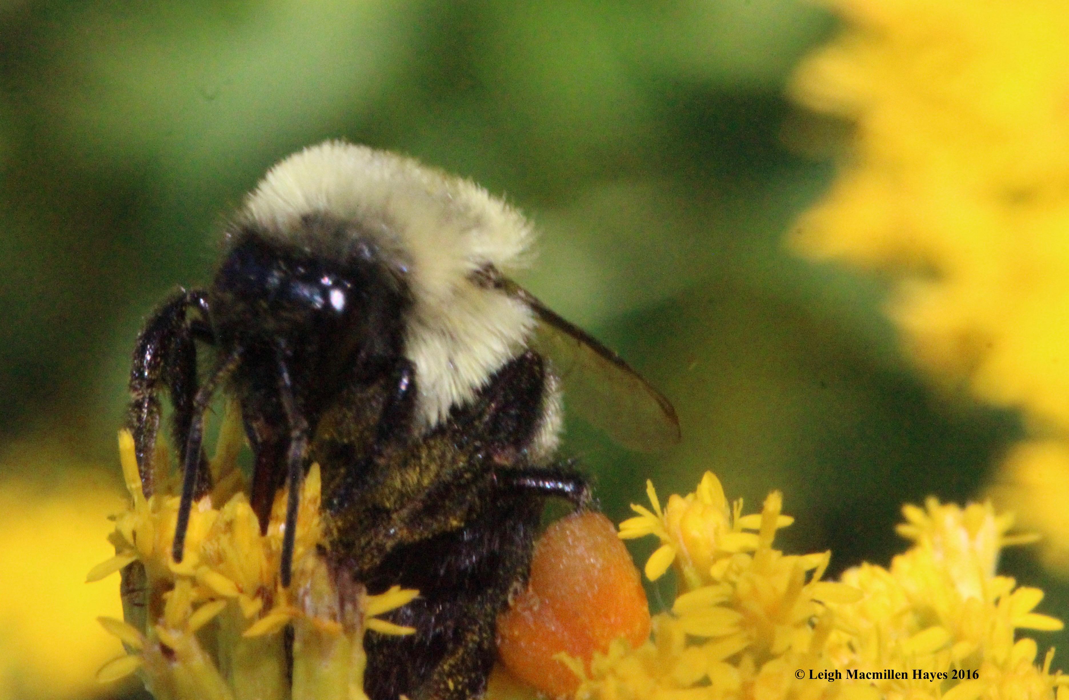 g-bumblebee