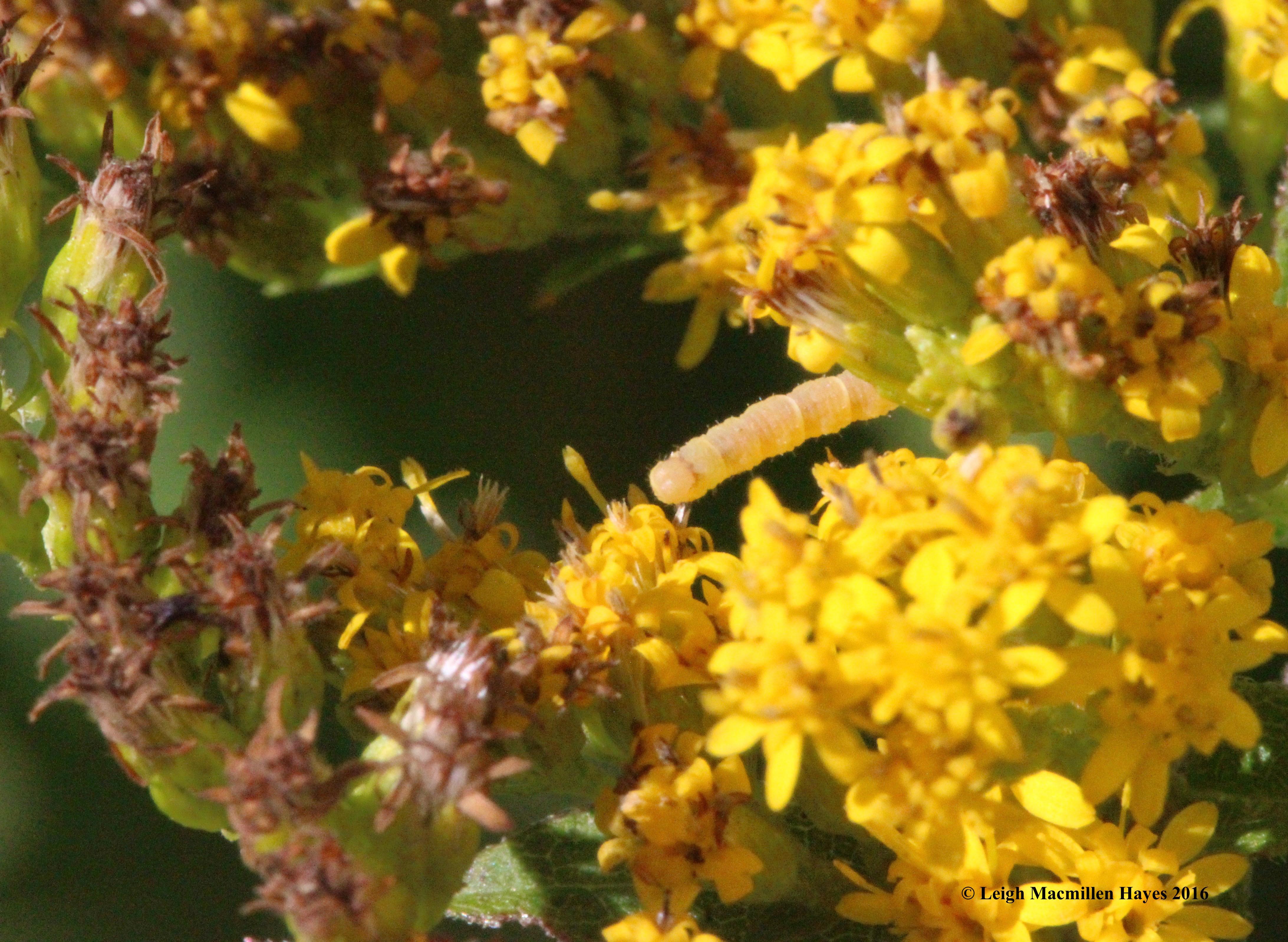g-caterpillar-blend