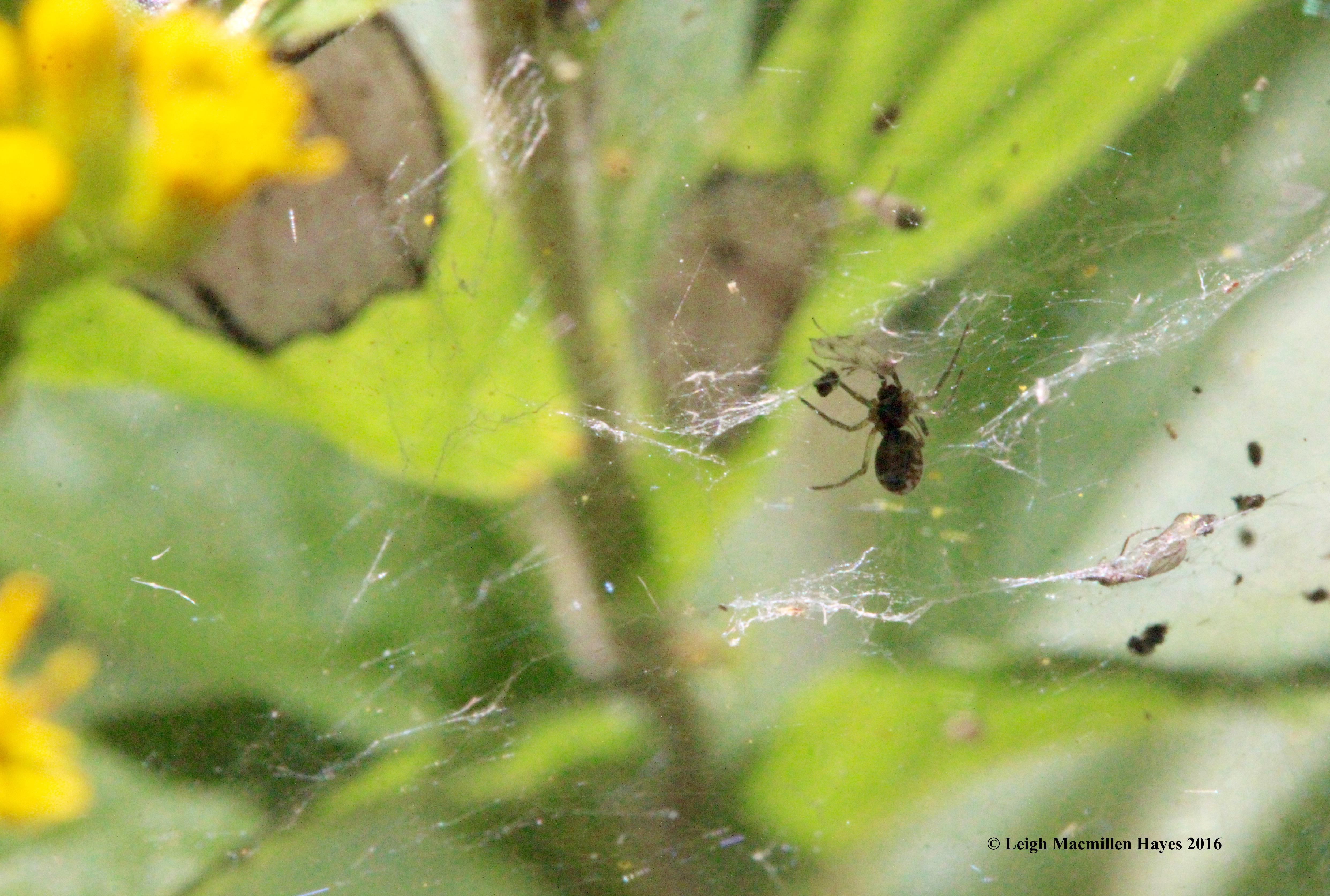 g-spider-web