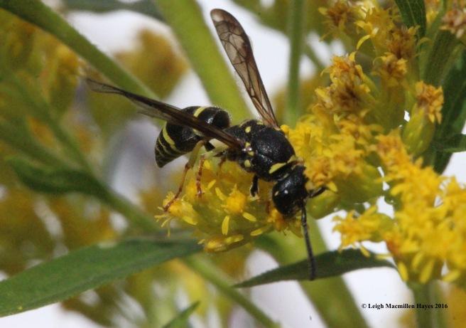 g-wasp