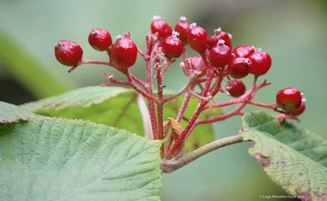 h-hobble berries