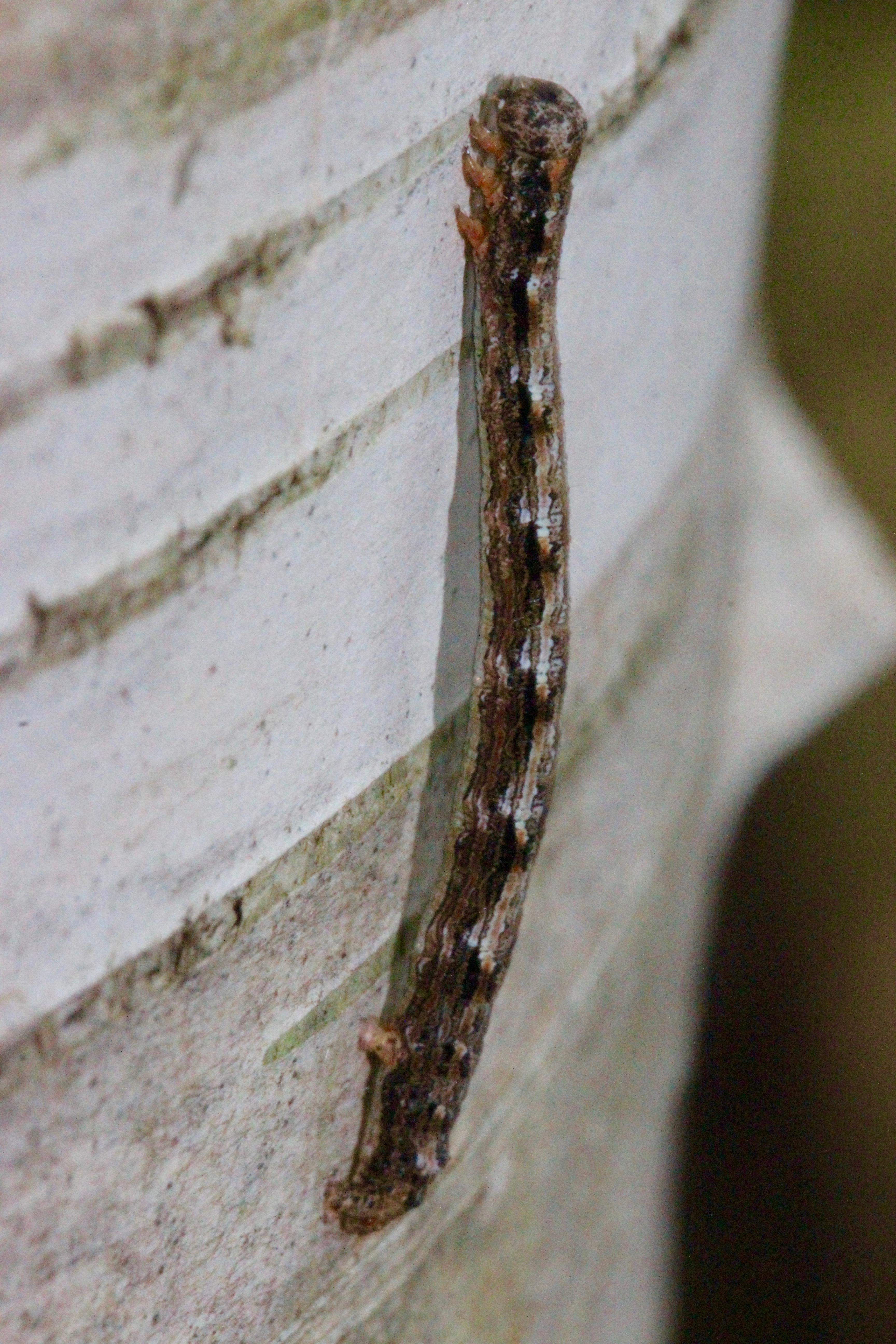 h-inch worm