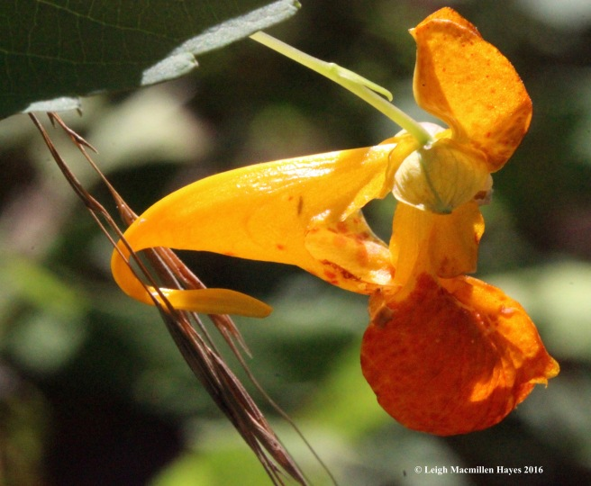 h-jewelweed