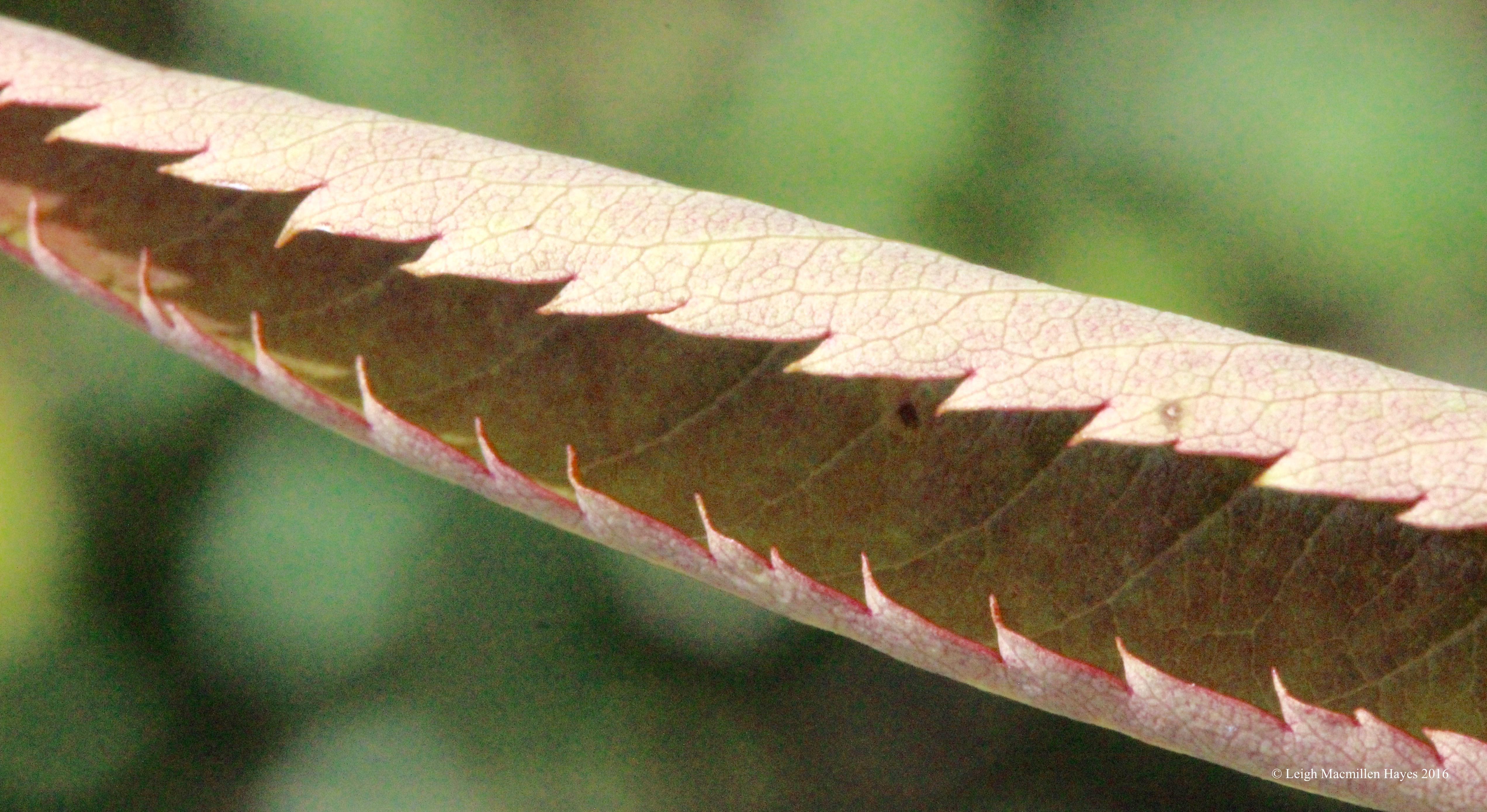 h-mtn ash leaf