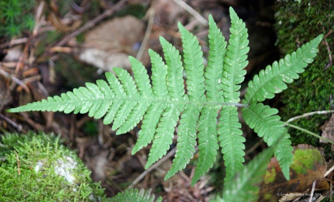 h-narrow beech fern