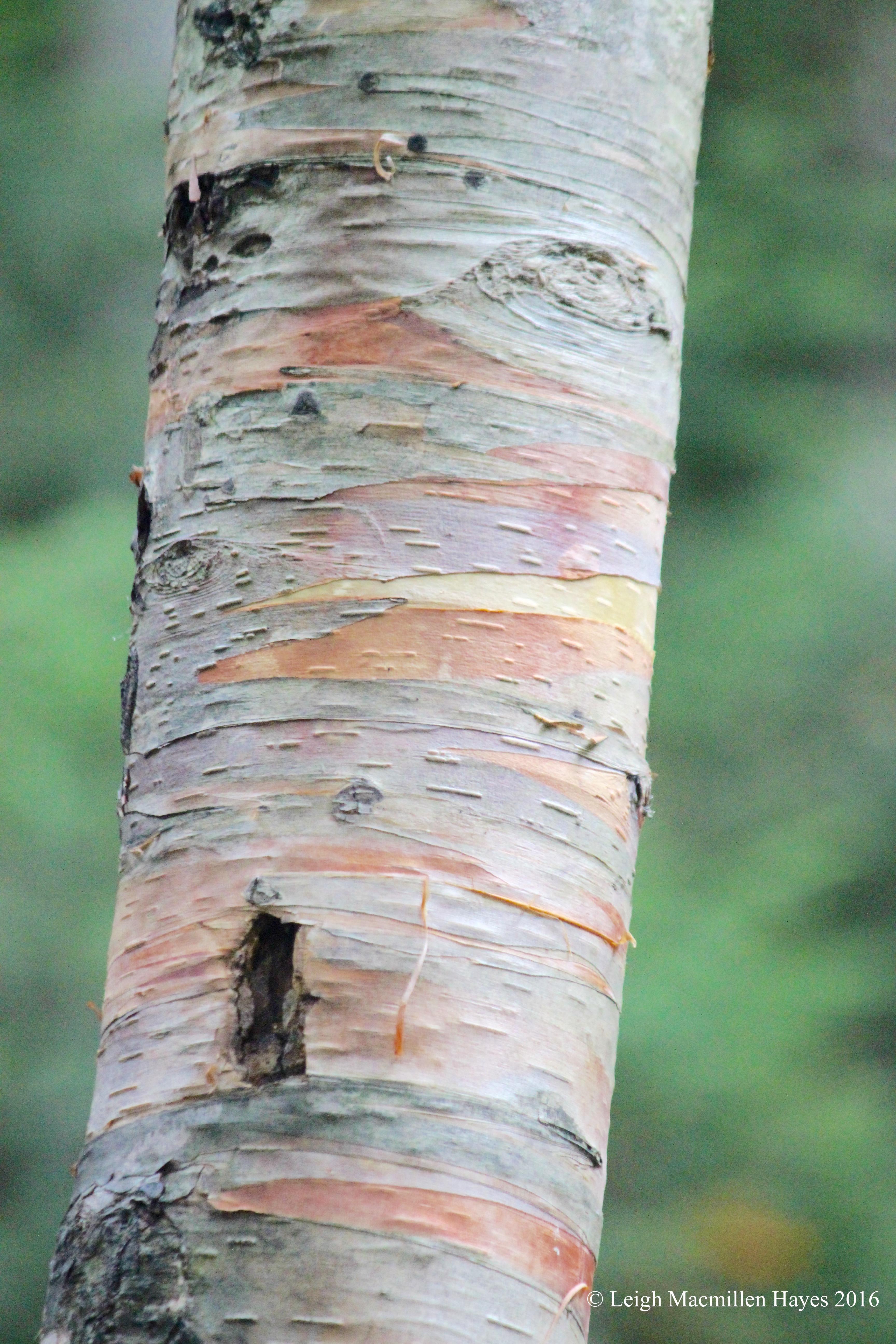 h-paper birch bark