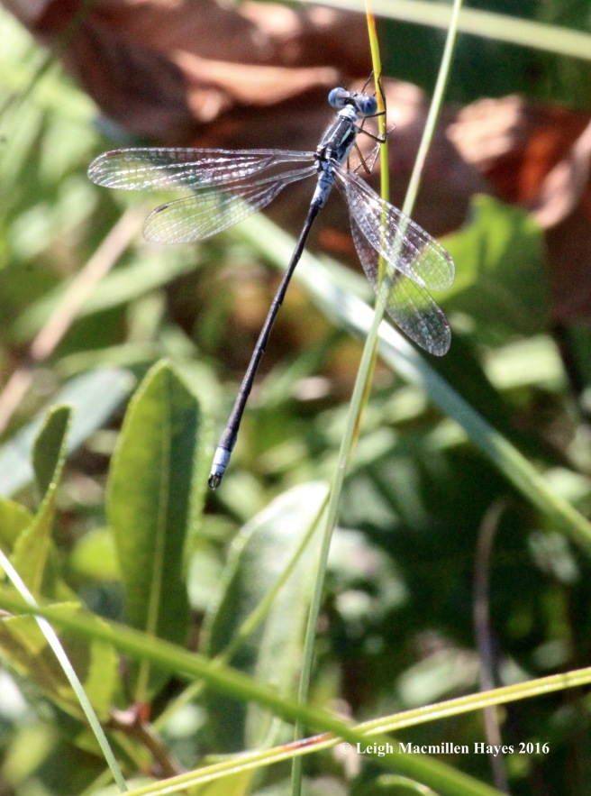 h-spread-winged damselfly