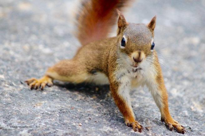 h-squirrel 2