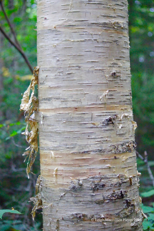 h-yellow birch bark