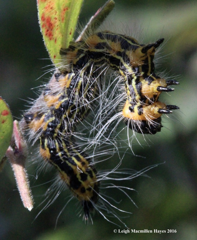 h-yellow-necked caterpillar
