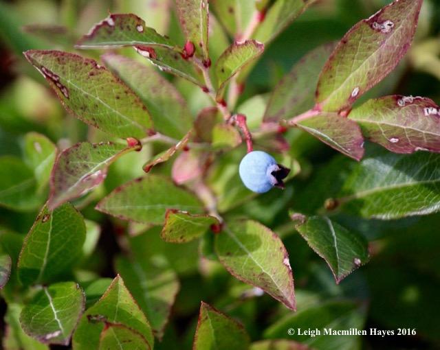 k-blueberry.jpg
