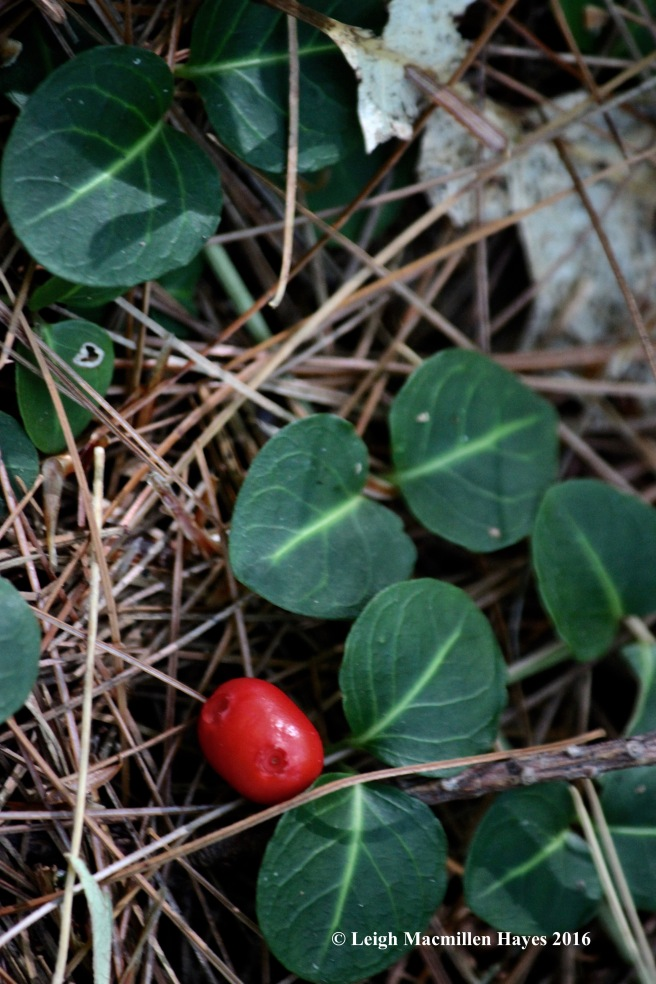 k-partridgeberry