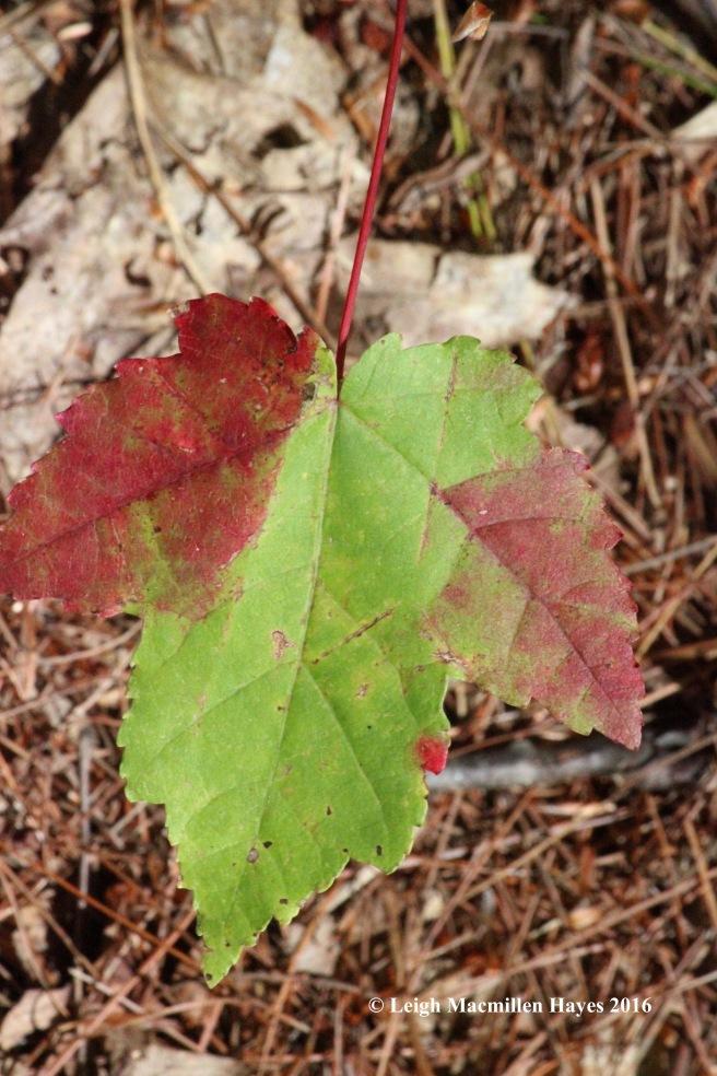 k-red-maple-leaf