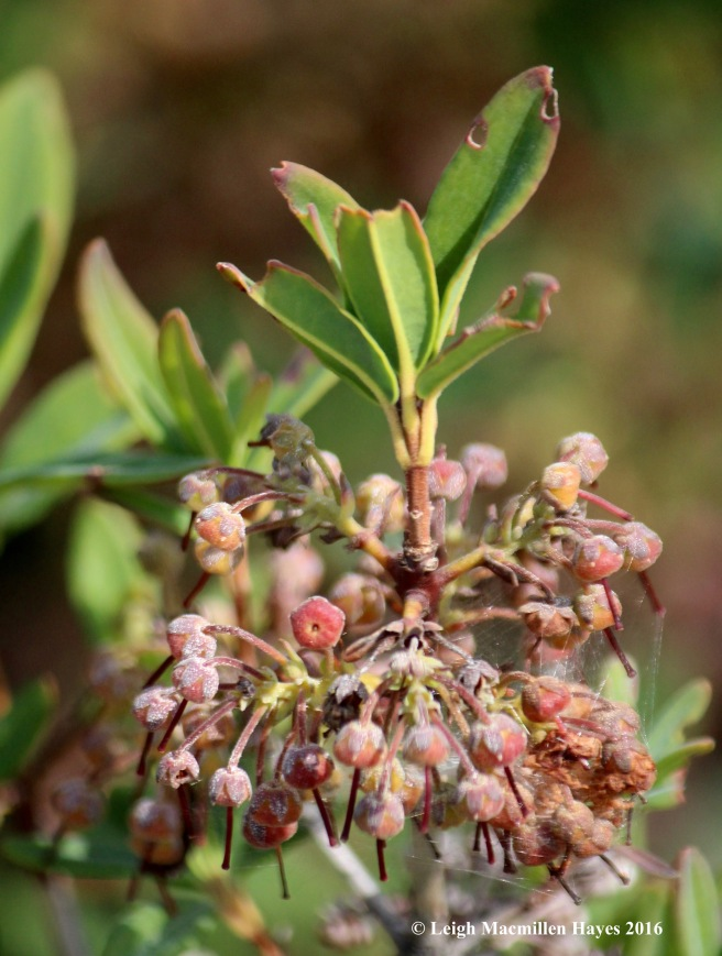 k-sheep laurel fruit.jpg
