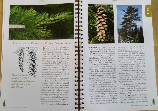 t-white pine (1)