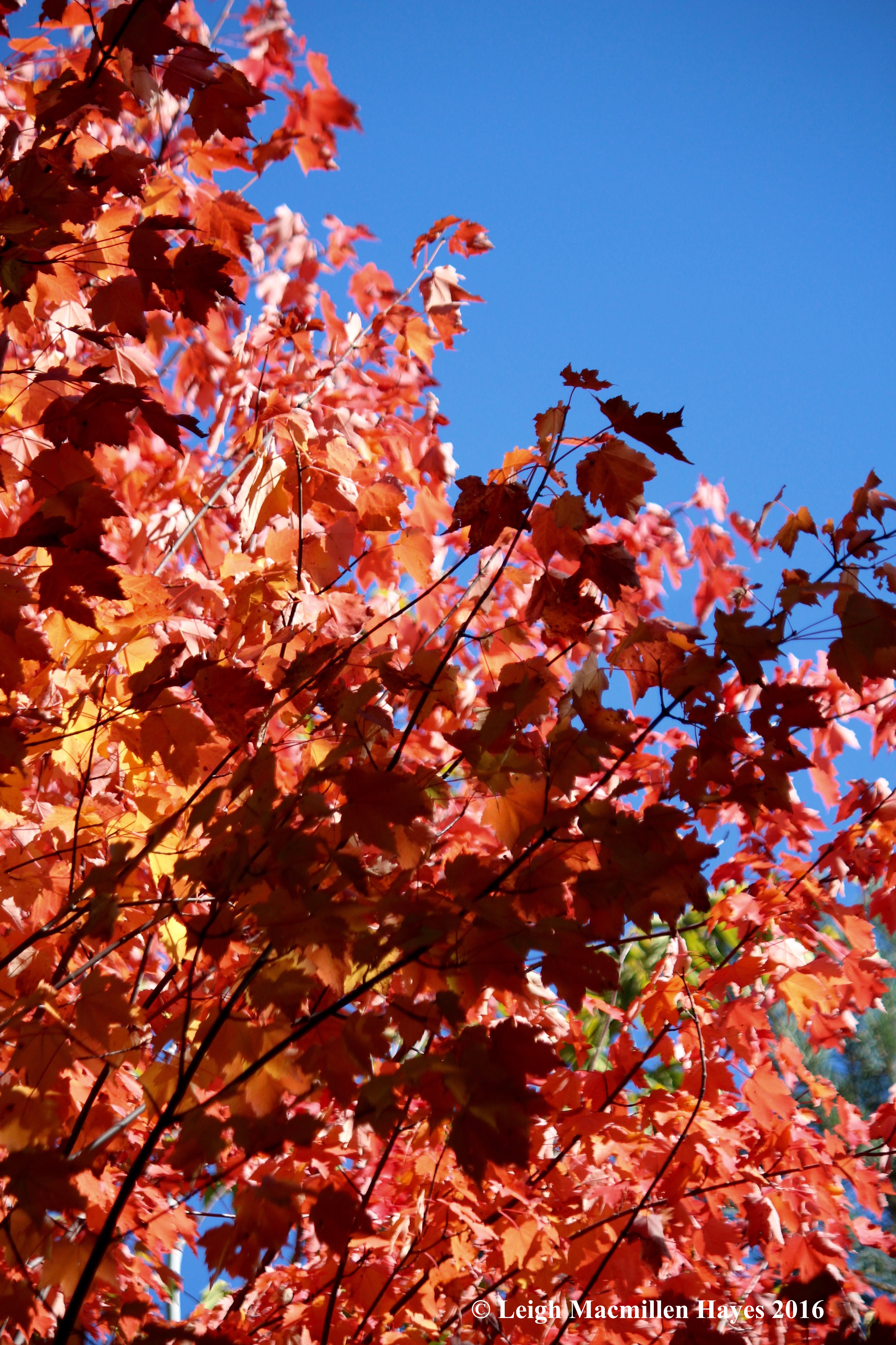 b-red-maples-against-sky