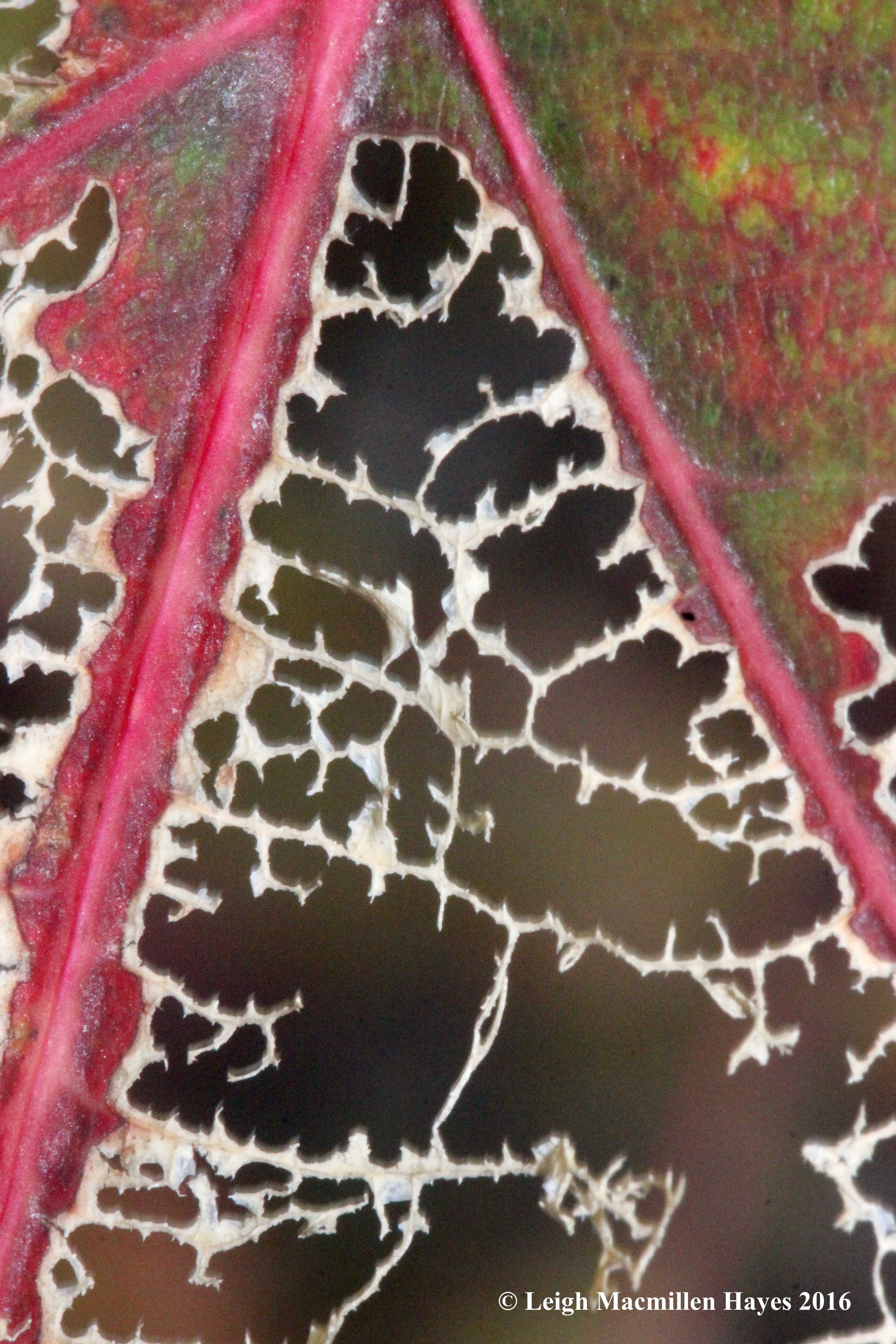 b-red-oak-veins