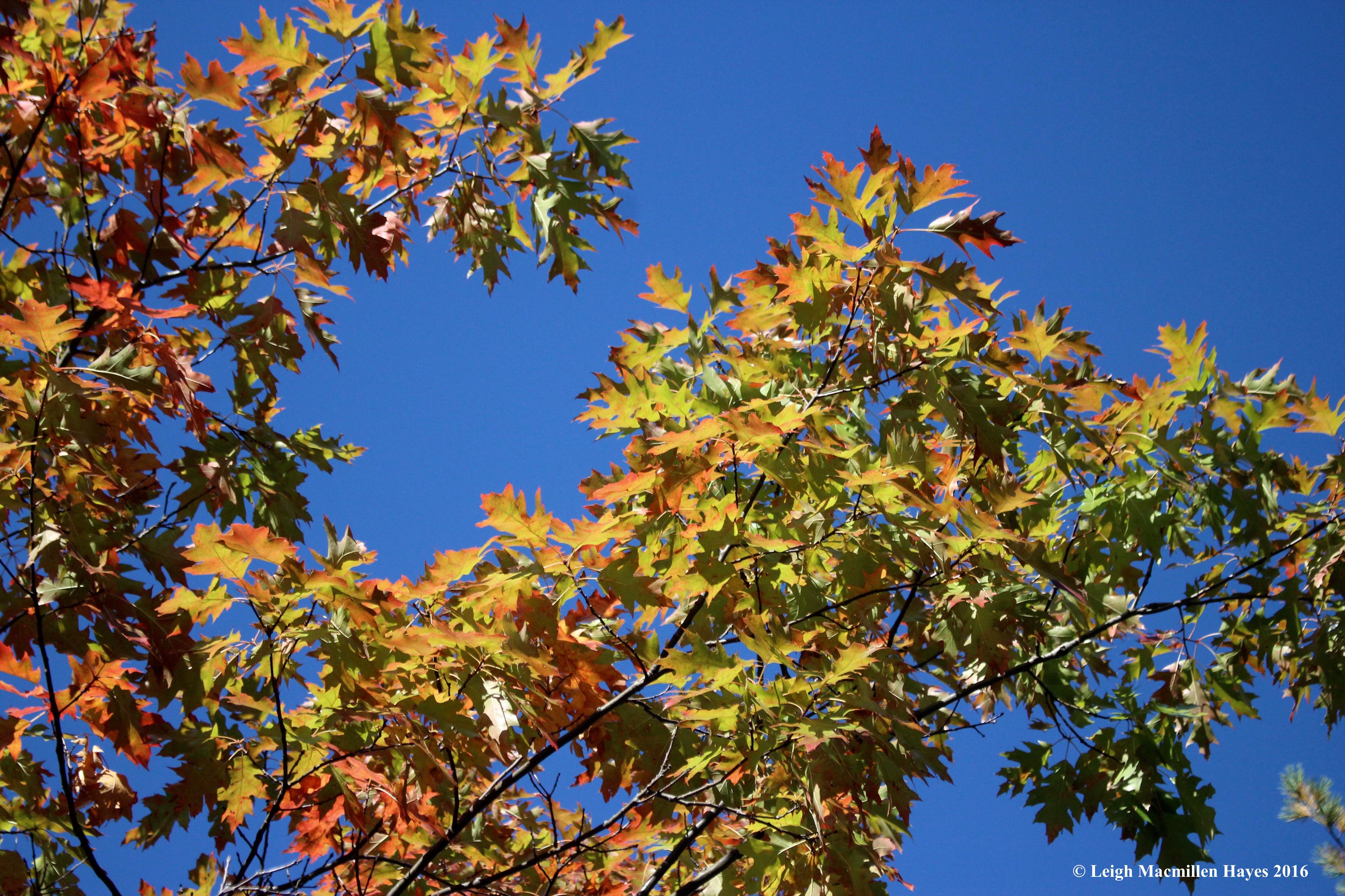 b-red-oaks-against-sky