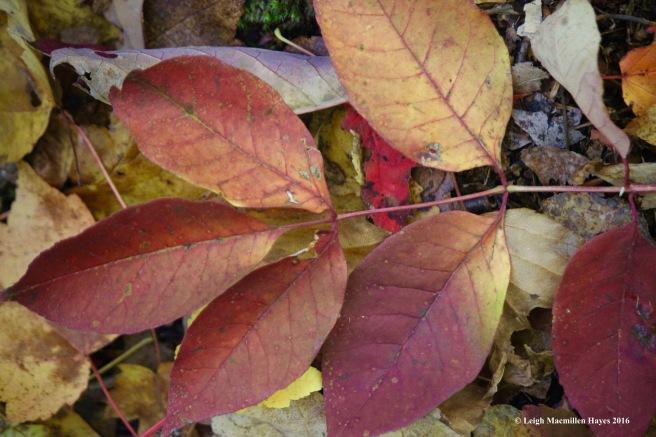 h-ash-leaf1