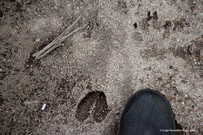 h-deer-and-bobcat-prints
