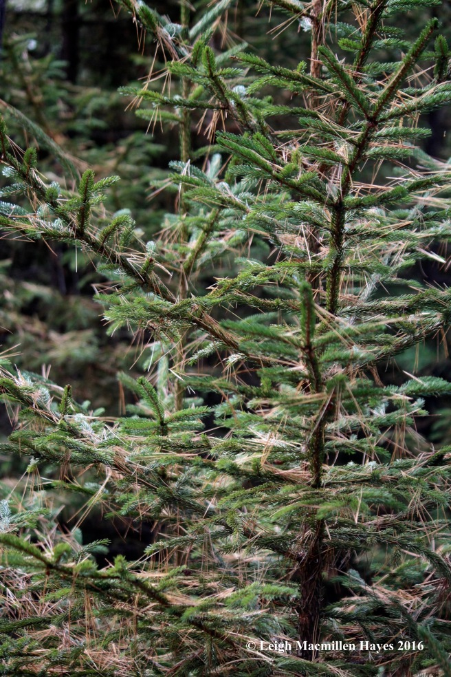 h-pine-needles-on-spruce