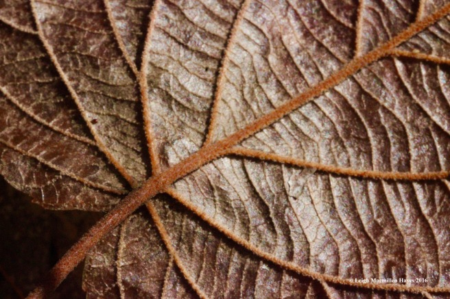 l-back-of-hobblebush-leaf