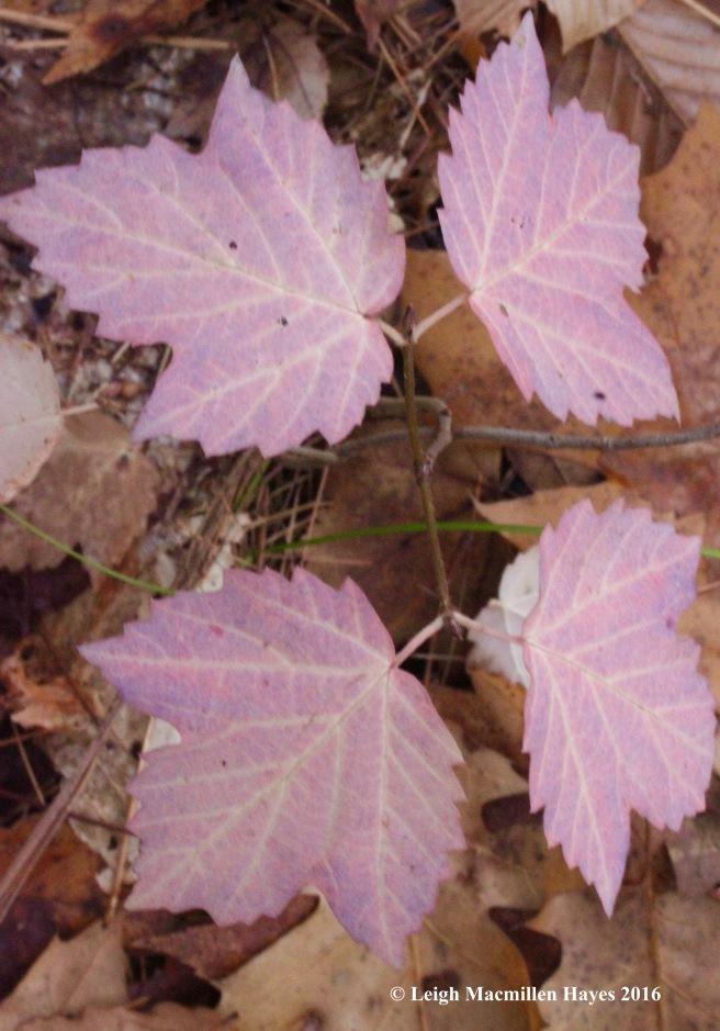 l-maple-leaf-viburnum