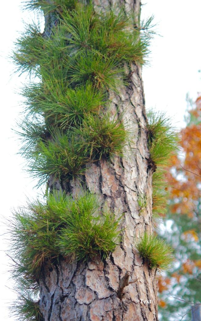 l-pitch-pine-1