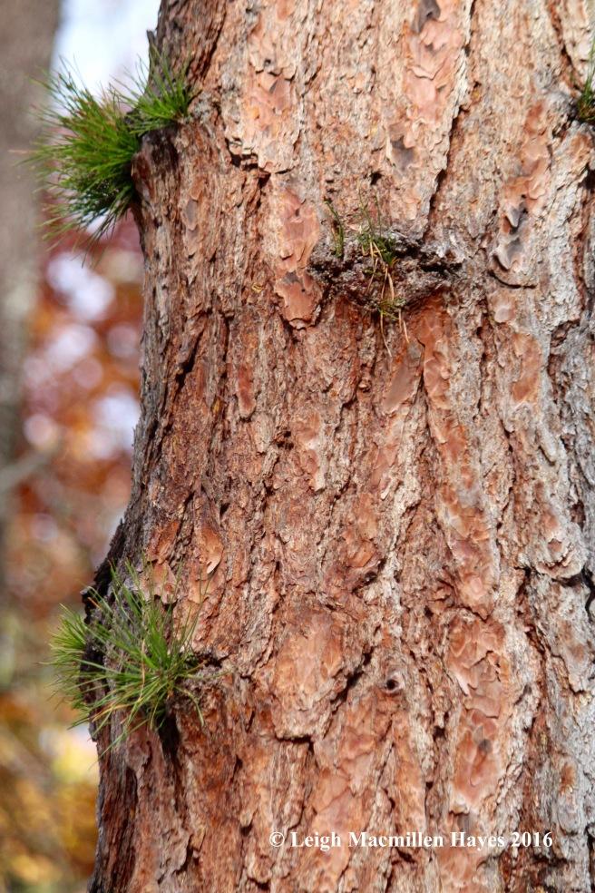 l-pitch-pine-bark-1