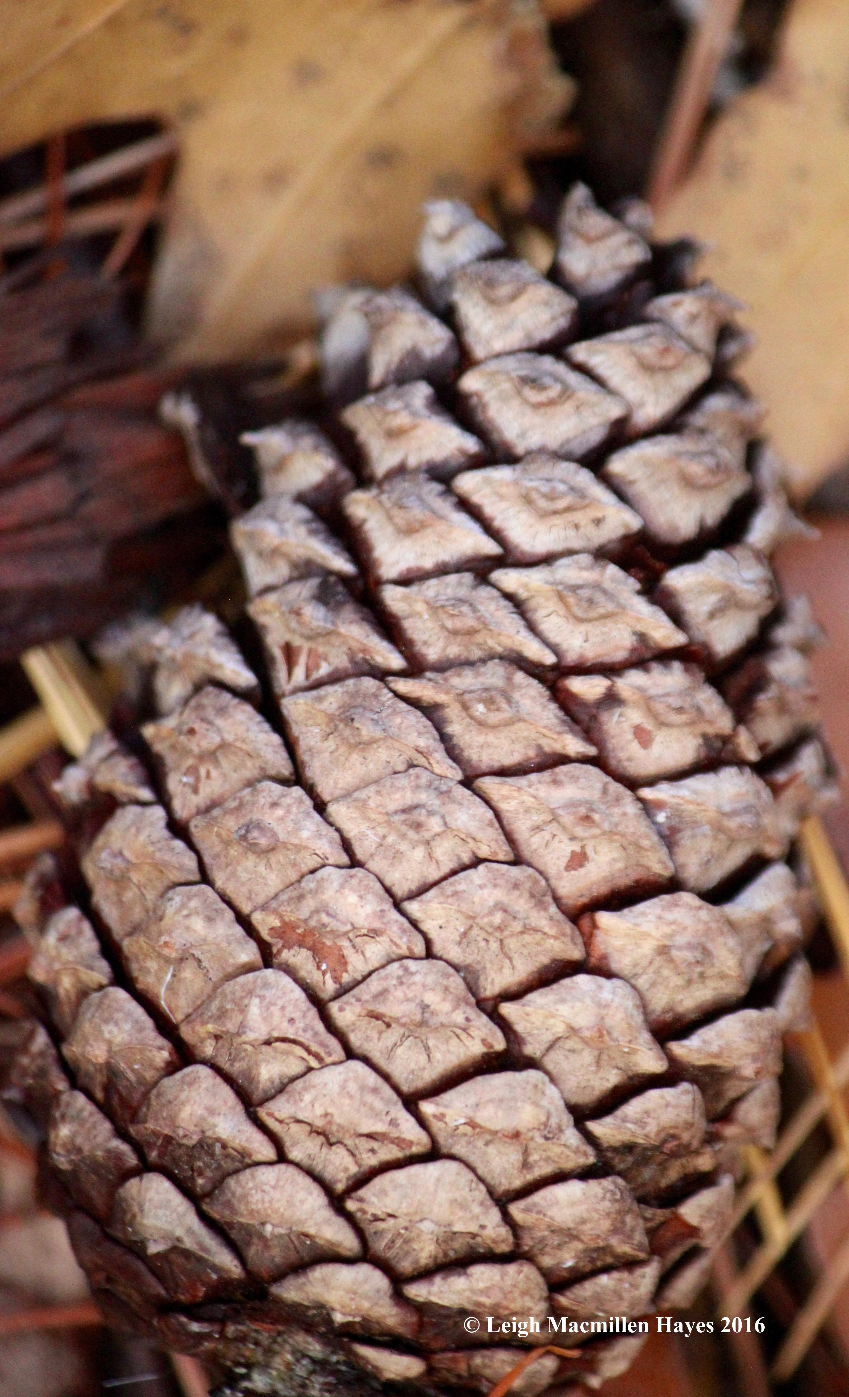 l-pitch-pine-cone