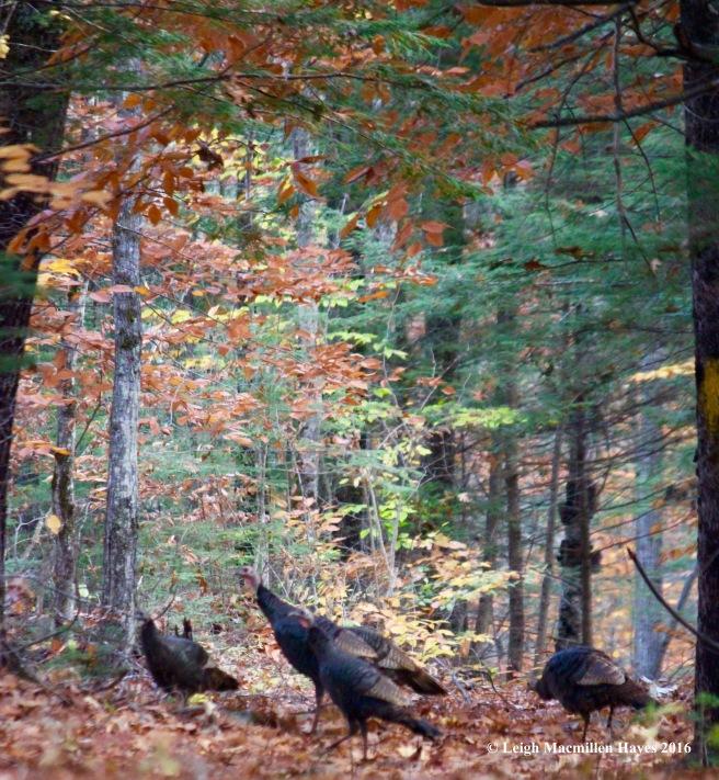 l-turkeys
