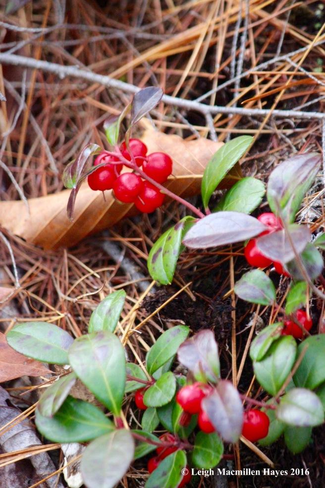 l-wintergreen-berries