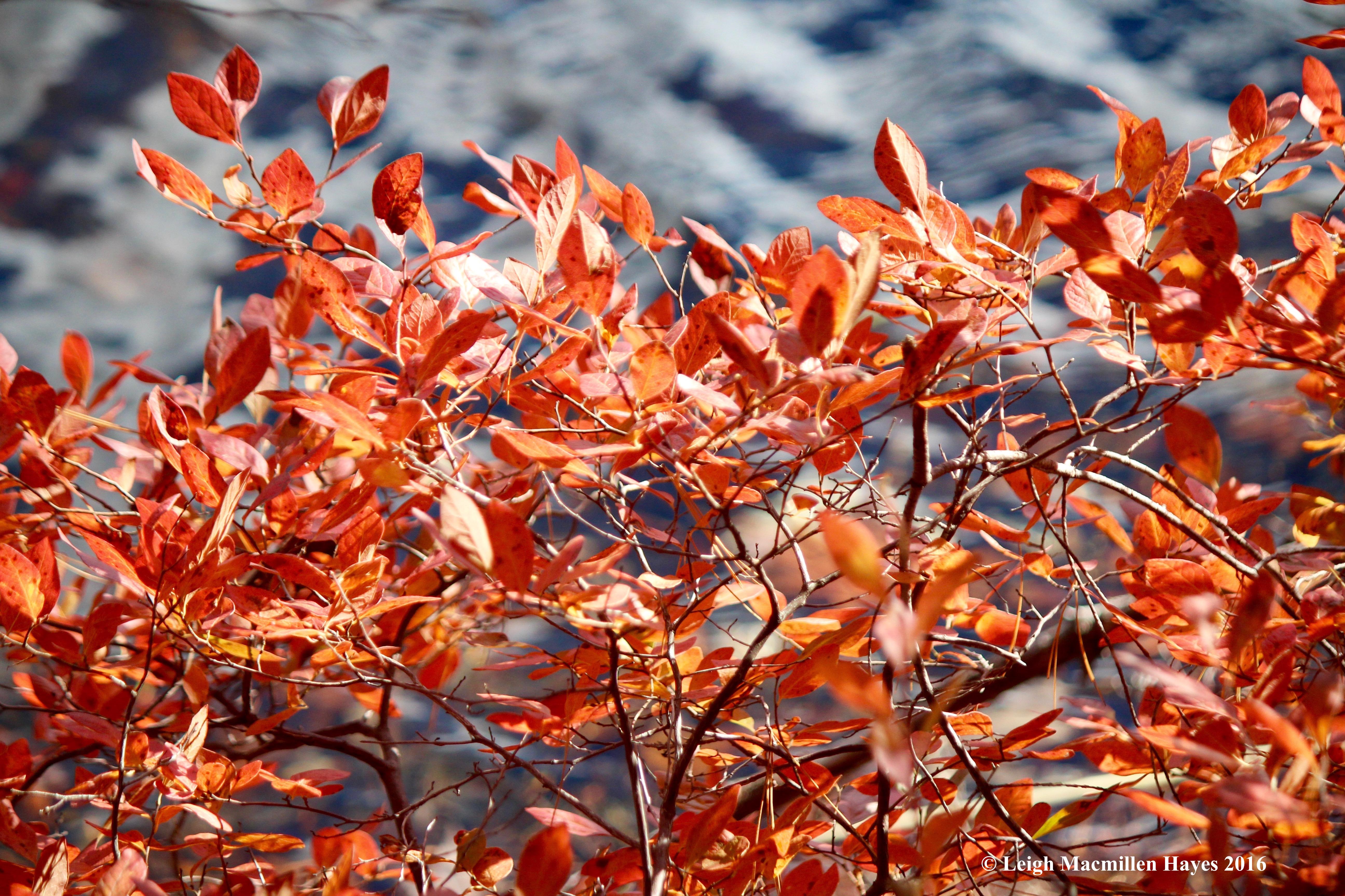 o-huckleberry-leaves