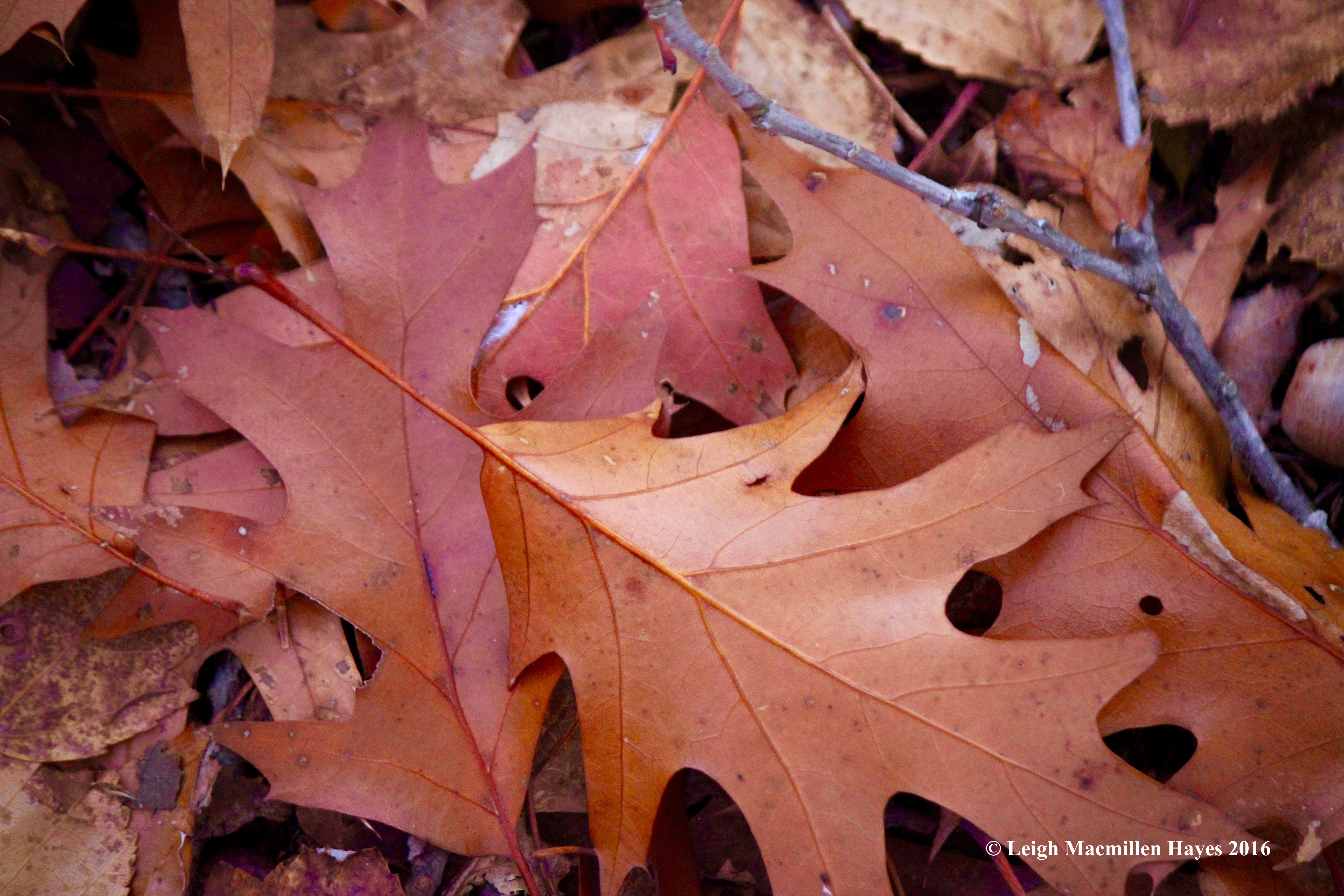 o-oak-leaves-1