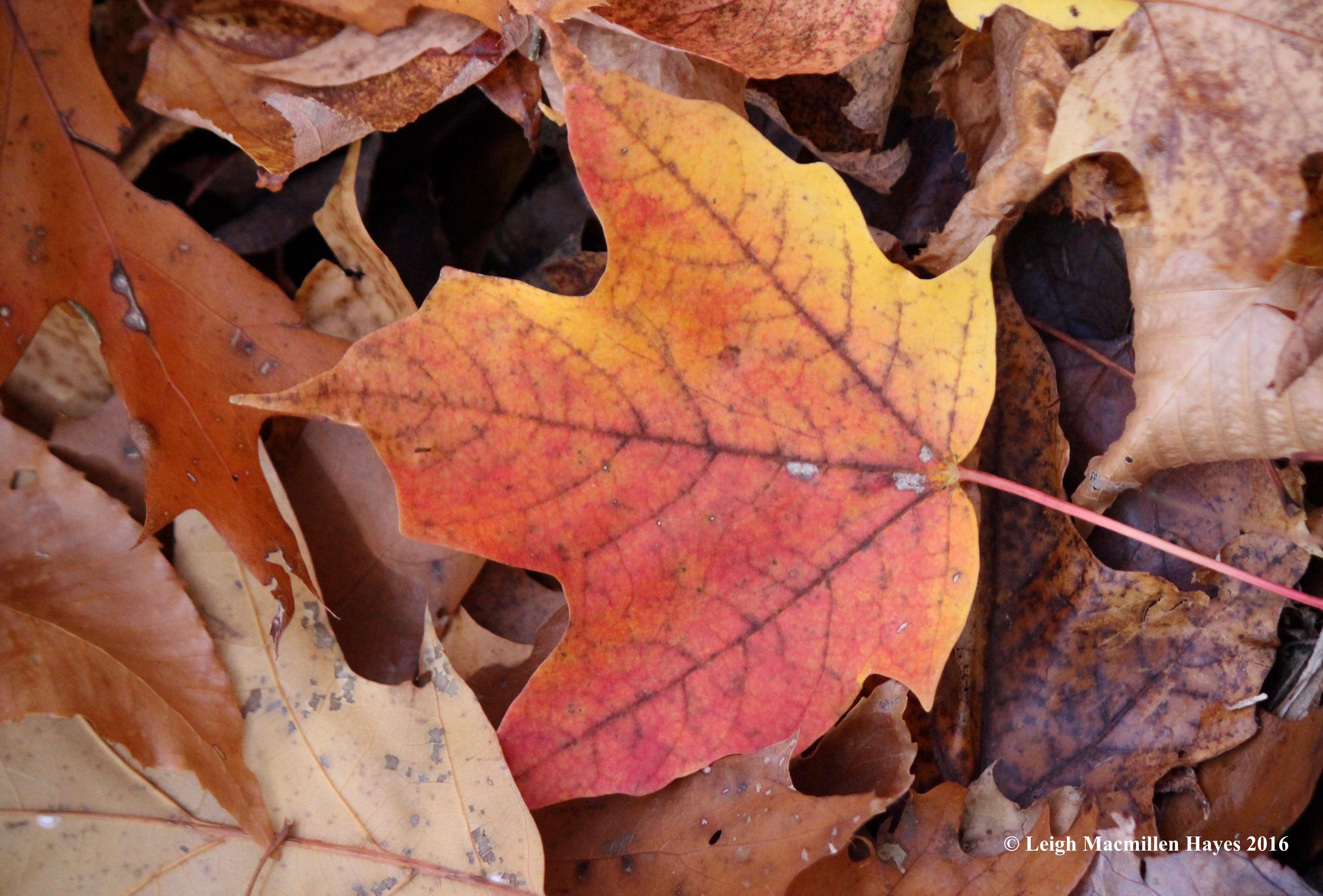 o-sugar-maple-leaf