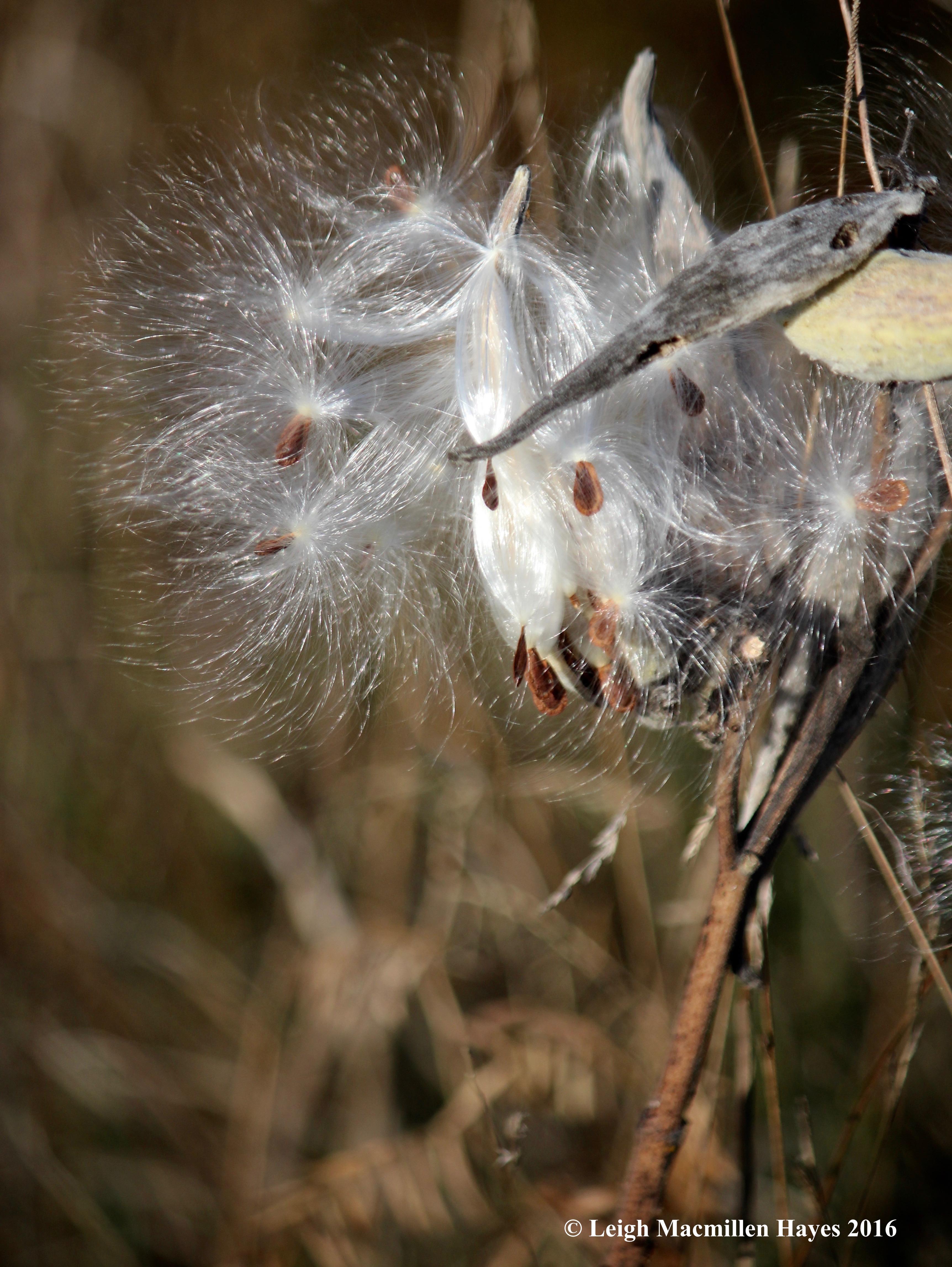 r-brimar-milkweed