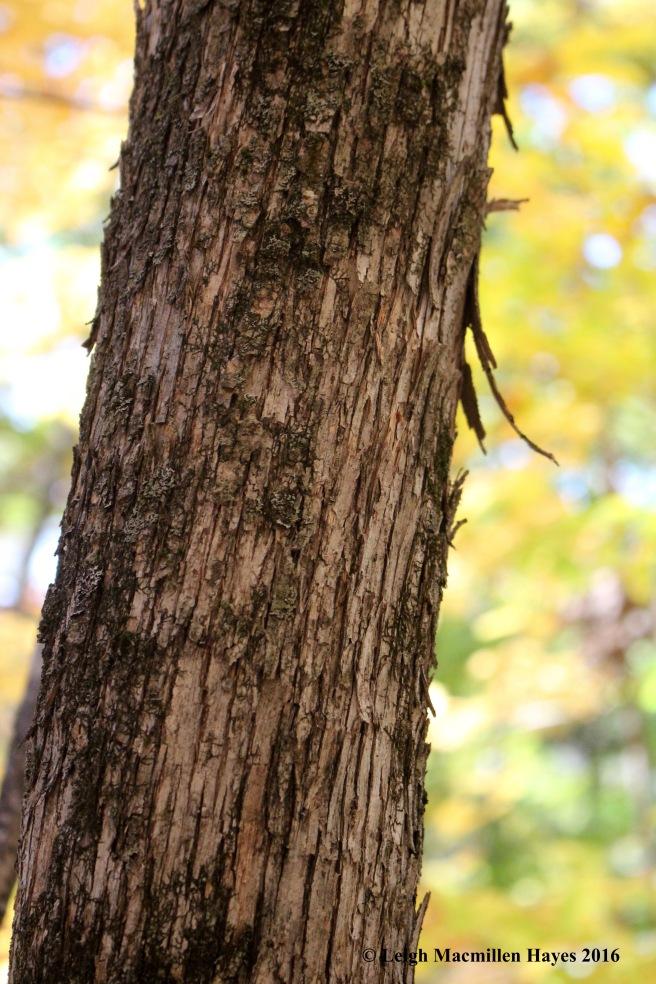 r-hophornbeam-bark