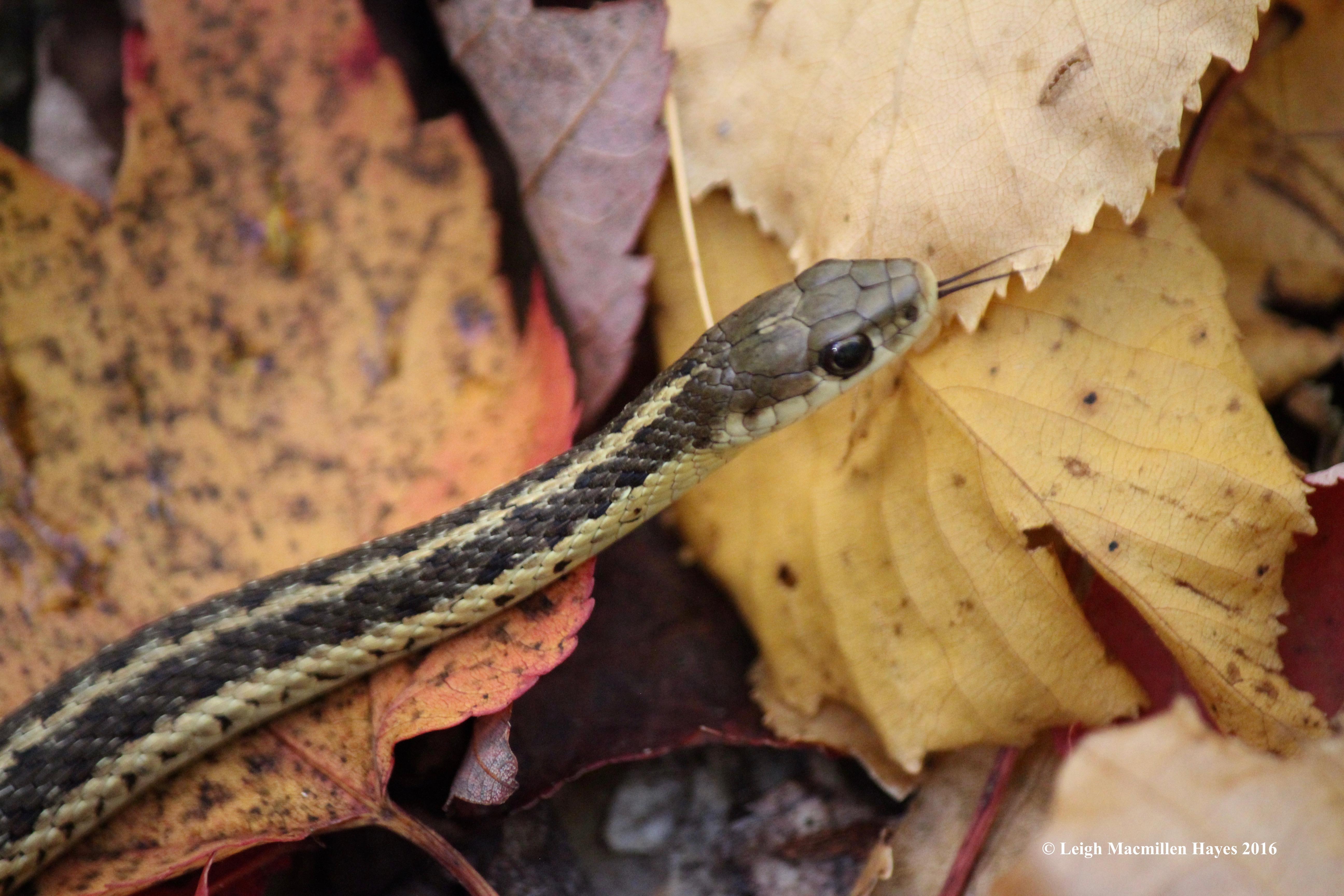 r-snake-tongue