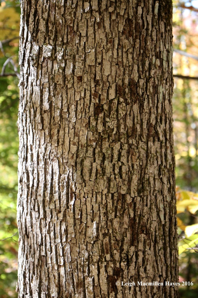 r-white-oak-bark
