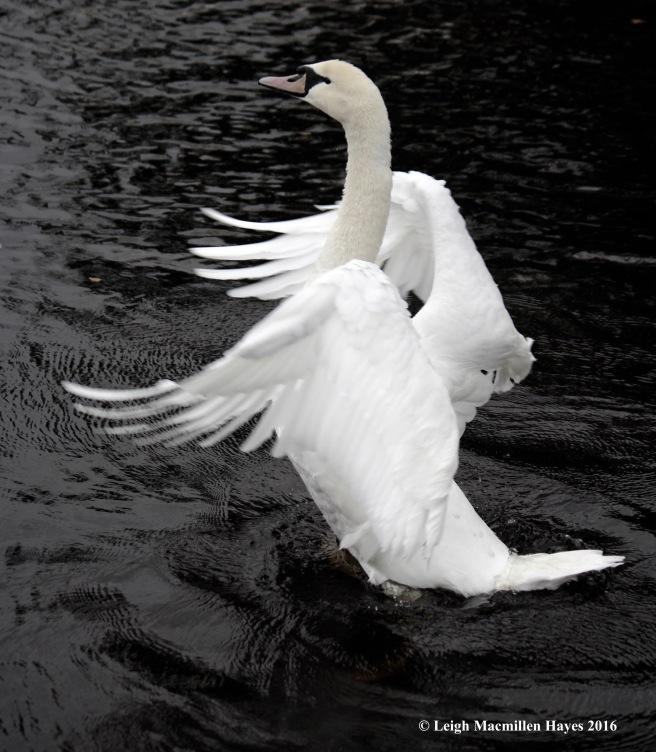 swan-stretch-carlow