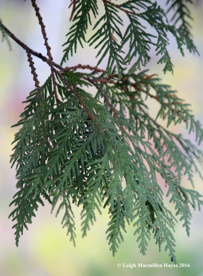 t-northern-white-cedar