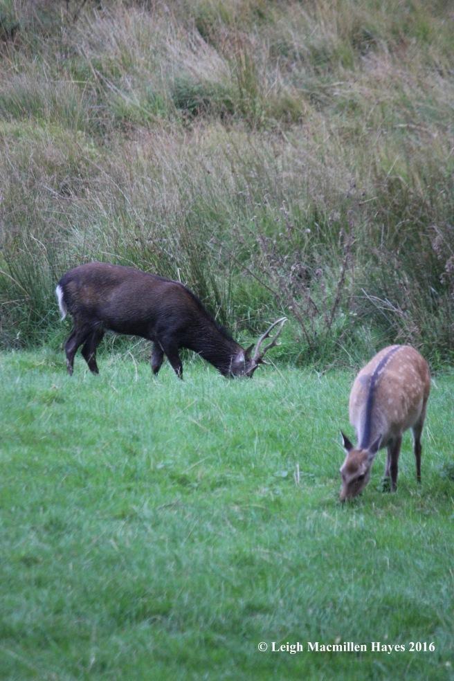 w-deer-at-glendalough