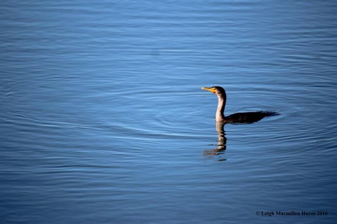c-cormorant-1
