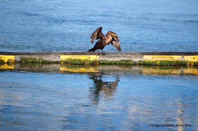 c-cormorant-balance