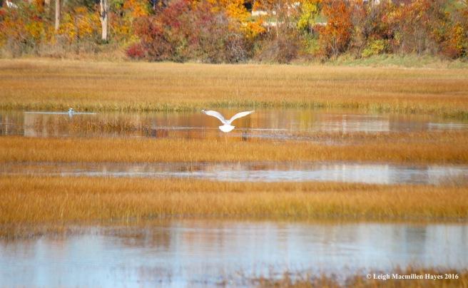 c-gull-landingsandwich