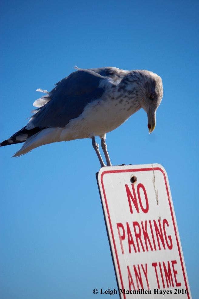 c-no-parking-gull-1