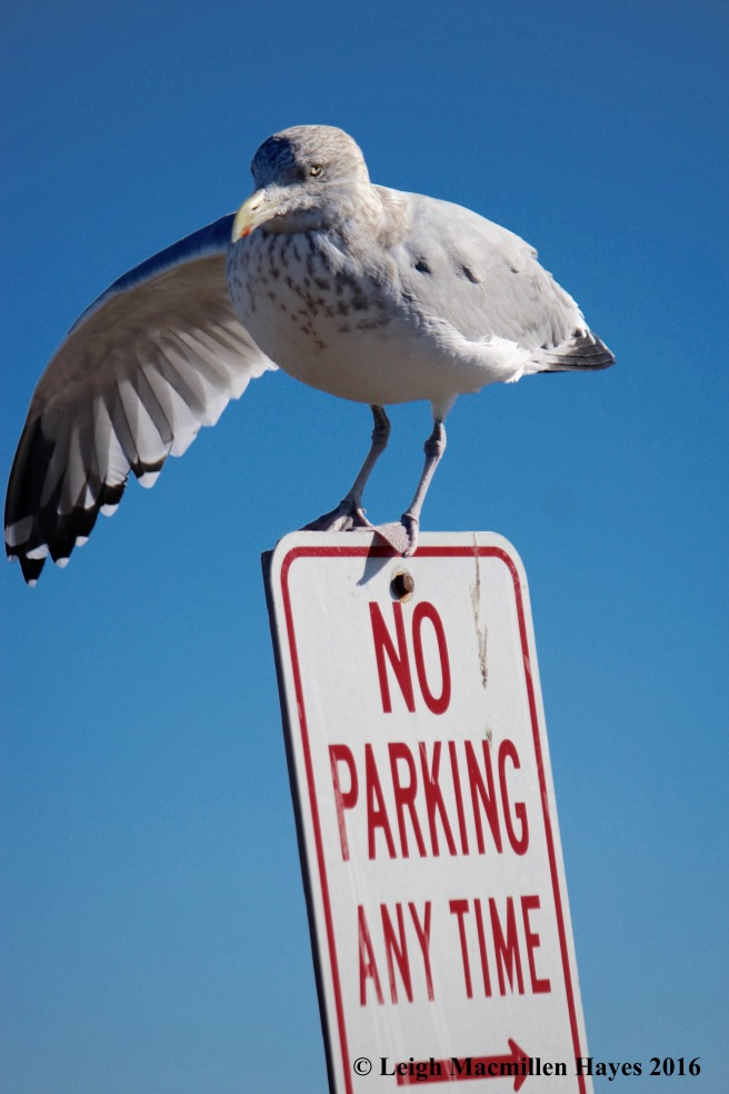 c-no-parking-gull