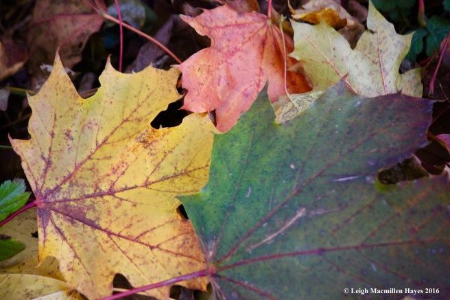 c-norway-maple-leaves