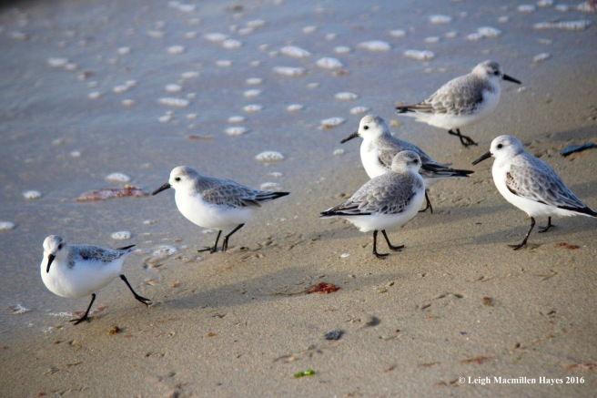 c-sanderling-convention