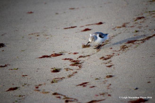 c-sanderling-look-ing